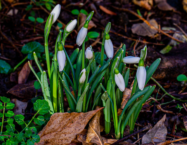 Snowdrops [Galantus nivalis - Amaryllidaceae family] - 6M7A8741