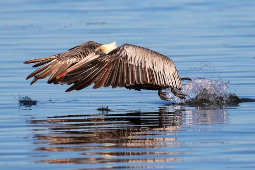 outdoor dennis adair nature wildlife 7dm2 7d ii ef100400mm canon florida bird flight bif