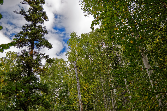 A View with Forest All Around and Blue Skies Above (Chena River State Recreation Area)