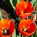 "<p><a href=""https://www.flickr.com/people/83379080@N00/"">sarider1</a> posted a photo:</p>  <p><a href=""https://www.flickr.com/photos/83379080@N00/49442130443/"" title=""Orange Tulips""><img src=""https://live.staticflickr.com/65535/49442130443_1e5d64df81_m.jpg"" width=""240"" height=""180"" alt=""Orange Tulips"" /></a></p>  <p>Texas Tulip Fields outside La Vernia, Texas</p>"
