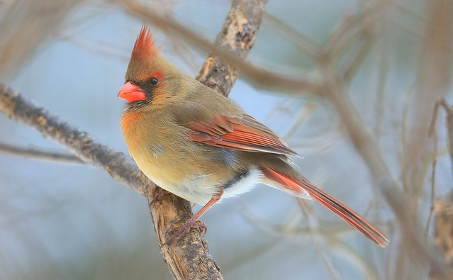 northern cardinal female at Lake Meyer Park IA 653A1302