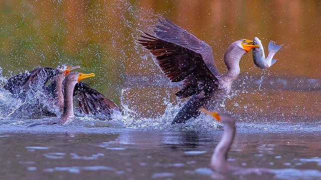 Chasing for fish ... (X9B_2100-1)
