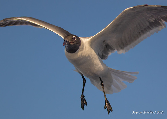 Bahamas Seagull 2