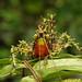 Spiny katydid