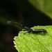 Bark weevil