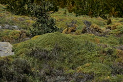 Almohadilla espinosa
