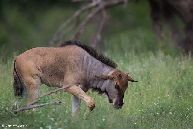 Blue Wildebeest, grownup calf