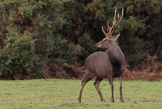 Sika stag in New Forest | by Mike.Pursey