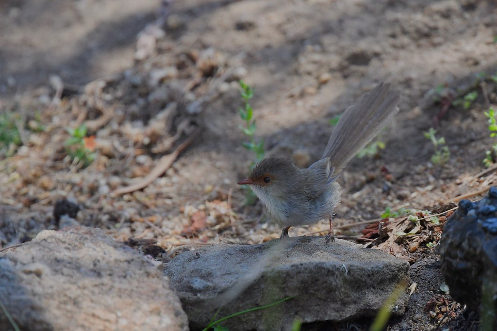Superb Fairy-wren ( with a fan-tail )