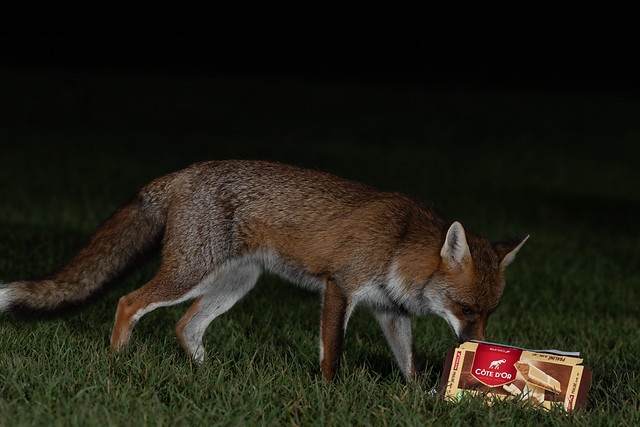 Young fox ♂️enjoying some Belgian chocolate