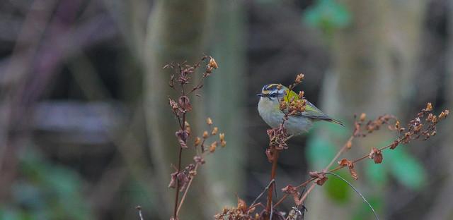 2nd Smallest Bird in Uk