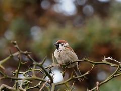 Eurasian tree sparrow (Passer montanus, スズメ)