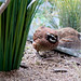 """<p><a href=""""https://www.flickr.com/people/coyoty/"""">Coyoty</a> posted a photo:</p>  <p><a href=""""https://www.flickr.com/photos/coyoty/49443700822/"""" title=""""Northern Bobwhite""""><img src=""""https://live.staticflickr.com/65535/49443700822_581f111f2e_m.jpg"""" width=""""240"""" height=""""240"""" alt=""""Northern Bobwhite"""" /></a></p>  <p><i>Colinus virginianus</i>.  At the National Aviary in Pittsburgh, PA.</p>"""