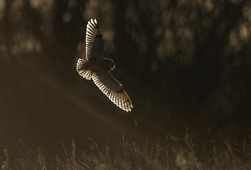 Short-eared Owl in sunbeams