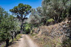 Ikaria/Ικαρία - Pine tree and olive grove in the Monokampi area
