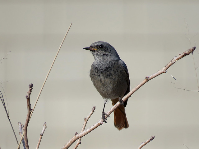 Black Redstart (Phoenicurus ochruros).