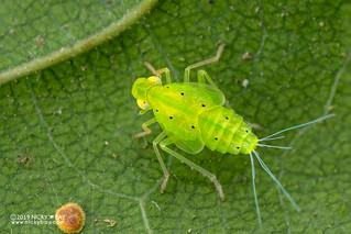 Planthopper nymph (cf. Tropiduchidae) - DSC_3162