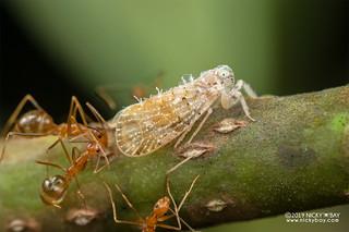 Planthopper (Fulgoroidea) - DSC_3100