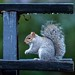 It's raining again!! Grey squirrel on a Colchester castle park bench.