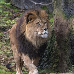 Male Lion Zoo Wuppertal