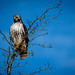 Bruce the red-tailed hawk