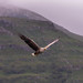 White Tailed Eagle in mist.jpg