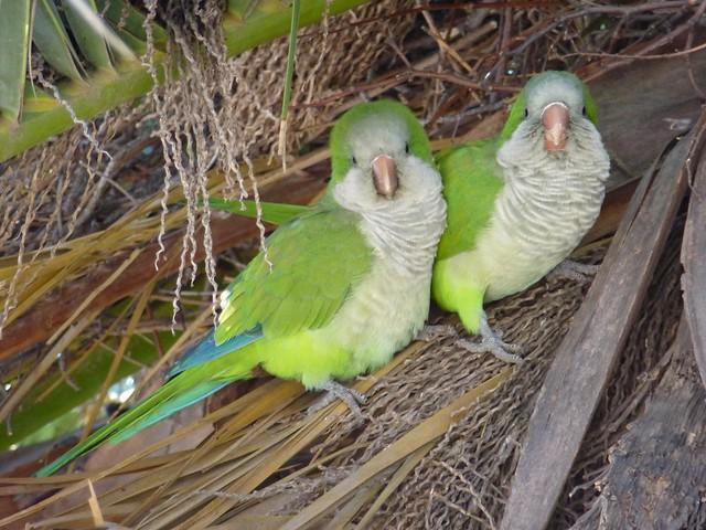 Cuddling Quaker parrots