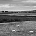 Pastoral in black and white