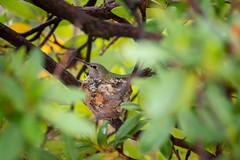 Hummingbird Mama