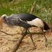 Ostafrikanischer Kronenkranich (Lat. Balearica regulorum gibbericeps)
