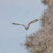 Shorteared owl -202001261117.jpg