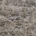 Shorteared owl -202001261379.jpg