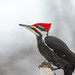 Mr Pileated Woodpecker-47549.jpg