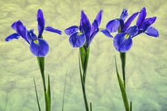 iris-3-texture
