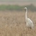 Garça Branca grande | Ardea Alba | Great Egret