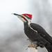 Mr Pileated Woodpecker-47550.jpg