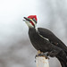 Mr Pileated Woodpecker-47554.jpg