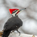 Mr Pileated Woodpecker-47566.jpg