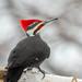 Mr Pileated Woodpecker-47566.jpg