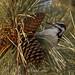 Foraging Woodpecker