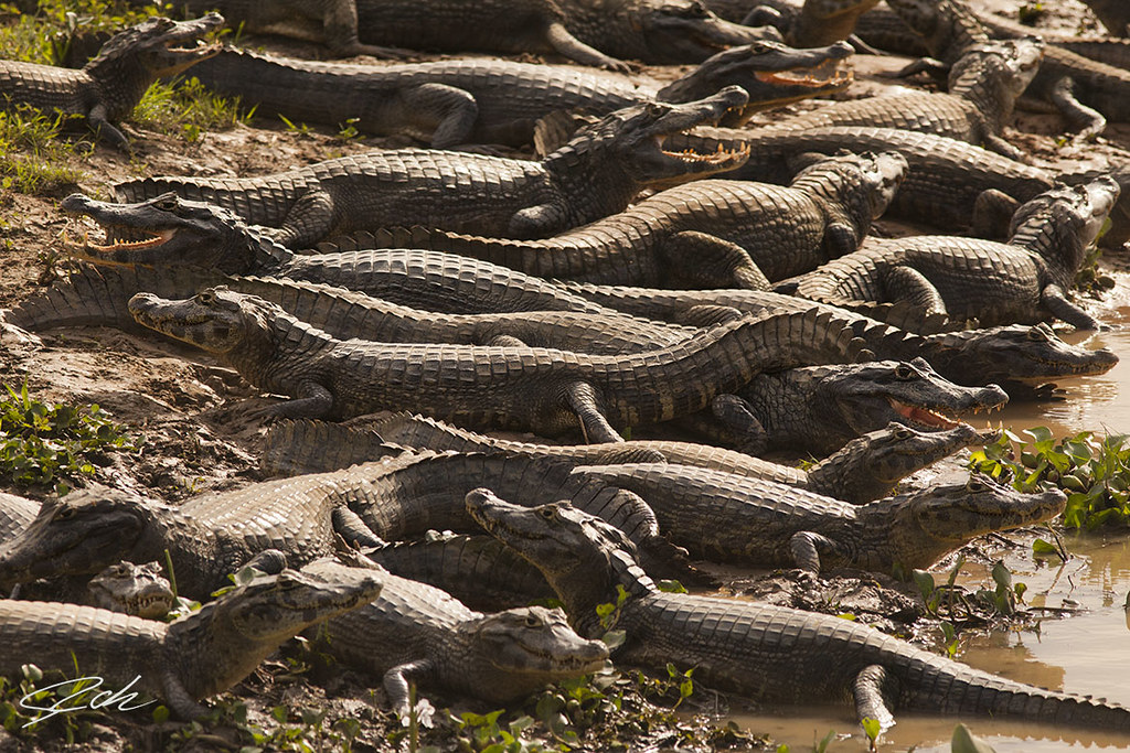 Yacare caimans at north pantanal, Matogrosso, Brasil.