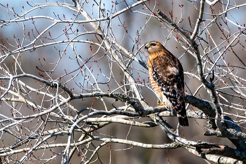 4/52 - Red-Shouldered Hawk