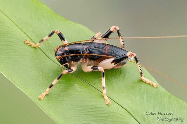 Raspy cricket - Gryllacrididae