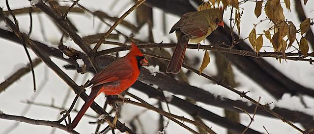 Beautiful Cardinals