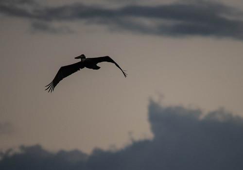 florida nature wildlife animal bird birding pelican sunset palmetto fly flying flight palmettoflorida