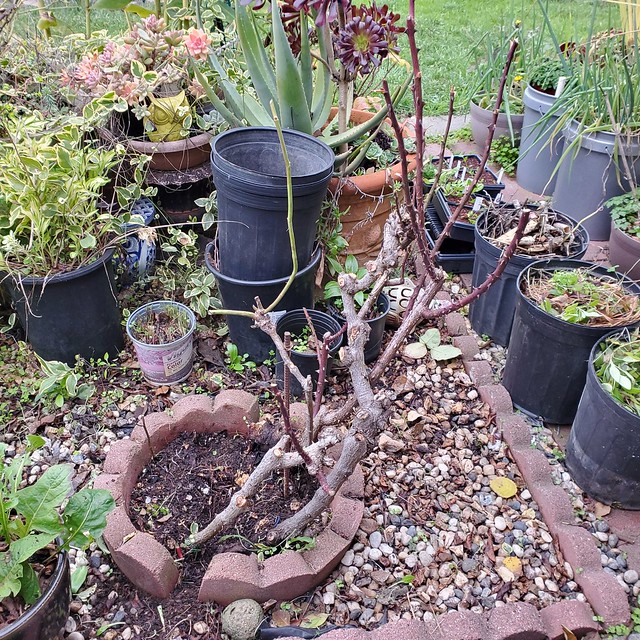 Rose #1 after pruning.