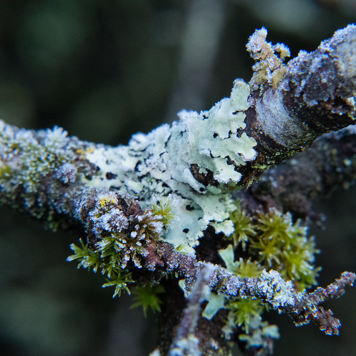 Lichen on blackthorn, lightly frosted