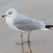 Ring-billed Gull - 2nd Year - January