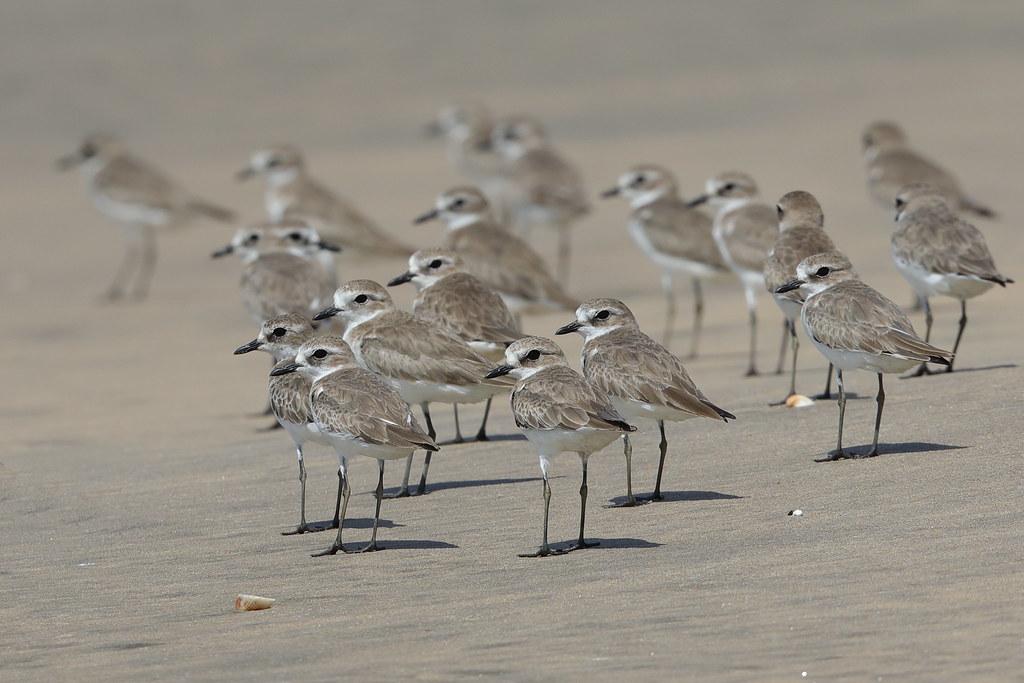 Lesser Sand Plover Charadrius mongolus