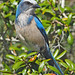 Florida Scrub-Jay - Photo (c) Judy Gallagher, some rights reserved (CC BY)